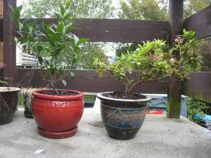 Mandarin tree and Azalea bush in pots